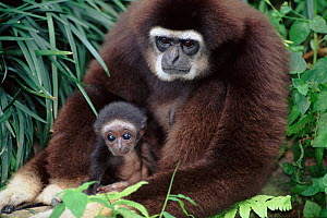 White-handed gibbon with young. Native to South-East Asia  -  Anup Shah