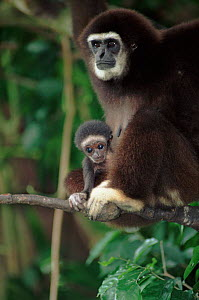 White-handed gibbon with young. Species native to South East Asia  -  Anup Shah