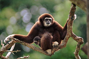 White-handed gibbon with baby. Native to South East Asia  -  Anup Shah