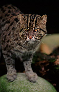 Fishing cat portrait. Occurrs in South East Asia and India - probably endangered. - Anup Shah