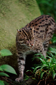 Fishing cat. Occurrs in South East Asia and India. Probably endangered - Anup Shah