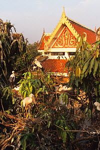 Asian openbill storks {Anastomus oscitans}, nesting colony beside buildings, Thailand, South East Asia  -  John Downer
