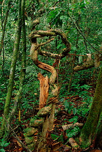 Lianas in tropical rainforest, Borneo, Indonesia.  -  Doug Wechsler