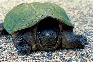 Snapping turtle (Chelydra serpentina) - Larry Michael