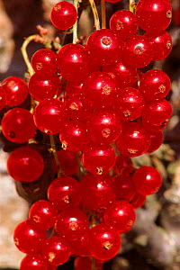 Ripe cultivated redcurrants (Ribes rubrum). Scotland, UK, Europe  -  Brian Lightfoot