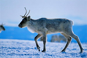 Caribou / Reindeer {Rangifer tarandus} walking through snow near Goose Bay, Labrador, Canada.  -  Nigel Bean
