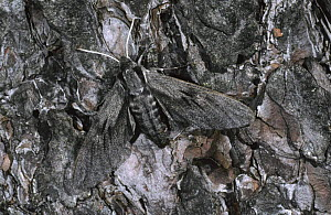 Pine hawk (Sphinx pinastri) camouflaged on the bark of a pine, Derbyshire UK - Paul Hobson