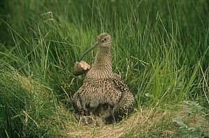 Curlew {Numenius arquata} clearing eggshell from nest, UK, Europe.  -  Colin Preston