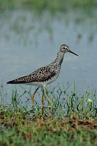 Lesser yellowlegs wading in water, Texas, USA.  -  Mike Wilkes