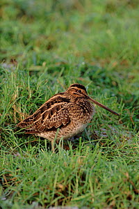Snipe in field, Worscester, England, UK, Europe.  -  Mike Wilkes