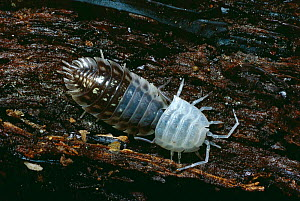 Sowbug woodlouse (Oniscus asellus) shedding exoskeleton. Inverness-shire, Scotland, UK, Europe - Duncan Mcewan