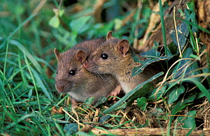 Brown rats {Rattus norvegicus} UK, Europe. - David Tipling