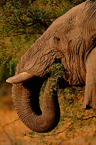 African elephant feeding on thorn tree, Moremi,  Botswana - Francois Savigny