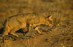 African wild cat (Felis sylvestris libyca) stalks Ground squirrel burrow, South Africa  -  Francois Savigny