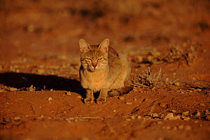 African wild cat waits by Ground squirrel burrow, Kalahari Gemsbok NP, Southern Africa  -  Francois Savigny