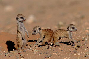 Suricate (meerkat) young - a few weeks old, Kalahari Gemsbok South Africa - Francois Savigny