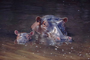 Hippopotamus with baby in water, Serengeti NP, Tanzania  -  Mike Wilkes