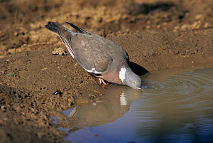 Wood pigeon drinking {Columba palumbus} Worcestershire UK  -  Mike Wilkes