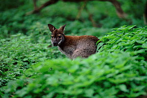 Red necked wallaby now naturalised in the UK  -  DAVID TIPLING