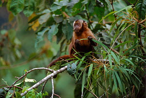 Large headed capuchin (Sapajus macrocephalus). Cloud Forest, Manu NP, Peru, South America - David Tipling