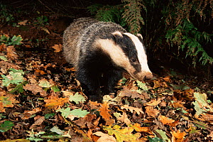Badger adult {Meles meles} November, South Devon, England - Kevin J Keatley