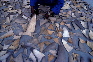 Shark fins drying before shipment from South Africa to Hong Kong for use in soup and for medicine - Jeff Rotman
