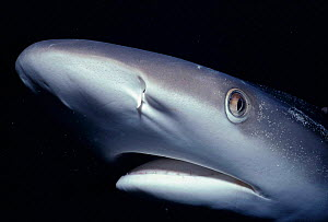 White tip reef shark head close-up {Triaenodon obesus} Natal, South Africa  -  Jeff Rotman