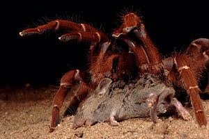King baboon spider with dead mouse, Kenya, Africa  -  Jabruson