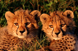 Three-month-old Cheetah cubs, Masai Mara NP, Kenya,  -  Peter Blackwell