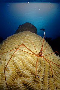 Banded coral (Cleaning) shrimp on coral, Caribbean Sea off Cuba. - Jurgen Freund