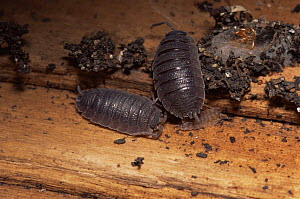 Woodlice (Porcellio scaber) with young, UK  -  Dan Burton