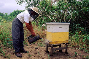 Collecting honey, Ecuador.Community Bee Culture Project, Pro Pueblo Foundation, Chongon-Colonche Cordillera.  -  Pete Oxford