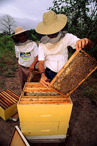Inspecting bee hives, Community Bee Culture Project, Pro Pueblo Foundation, Ecuador  -  Pete Oxford