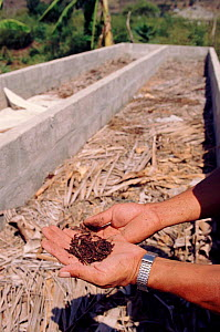 Earthworm culture for soil improvement, Pro Pueblo Foundation, Ecuador  -  Pete Oxford