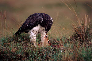 Martial eagle feeding on prey, Kenya, East Africa  -  Peter Blackwell