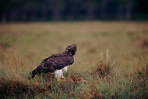 Martial eagle with prey, Kenya, East Africa  -  Peter Blackwell