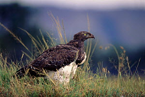 Martial eagle portrait, Kenya, East Africa  -  Peter Blackwell
