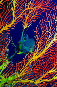 Golden samselfish (Amblyglyphidodon aureus) with Gorgonian fan. Indo-Pacific Ocean - PETER SCOONES
