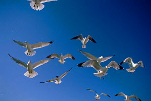 Ring-billed gulls (Larus delawarensis) flying. Florida, USA - Mike Wilkes