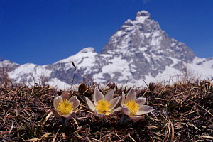 Spring pasque flower with Matterhorn in background, Alps, Italy  -  John Downer