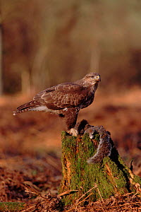 Common buzzard with Grey squirrel prey, England UK  -  Colin Preston