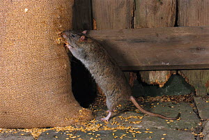 Brown rat feeding from grain sack {Rattus norvegicus}  -  Colin Preston