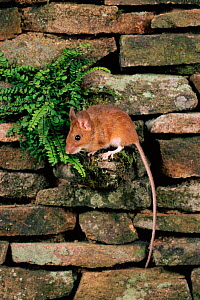 Yellow-necked mouse on wall, UK  -  Colin Preston