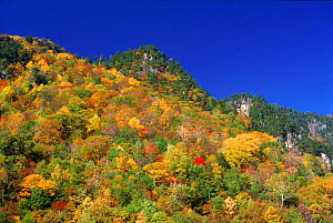 Mixed forest showing autumn colours (pine and broadleaf sp.). Hodaka Mountains, Northern Alps, Kamikochi, Japan - John Downer