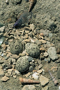 Nest of Kentish plover {Charadrius alexandrius} with eggs, Camargue, France.  -  Jean E. Roche