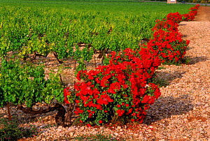 Rose bushes sensitive to (Oidium) fungi protect vines. Baronnies, Provence, France, Europe - Jean E. Roche