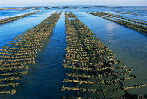 Oyster farm with Oysters {Lophia folium} exposed at low tide, Ie de Re, France  -  Jean E. Roche