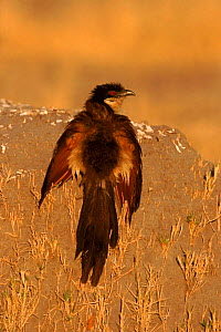 Coppery tailed coucal (Centropus cupreicaudus). Moremi reserve, Botswana, Southern Africa - Richard Du Toit