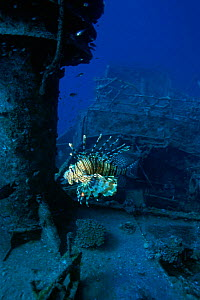 Lionfish (Pterois miles) swimming by shipwreck. Red Sea, Egypt - Georgette Douwma
