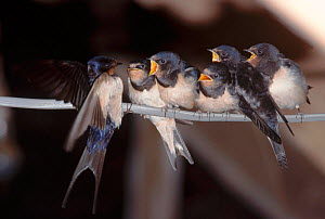 Barn swallow fledglings (Hirundo rustica) being fed. Gloucestershire, England, UK, Europe  -  WILLIAM OSBORN